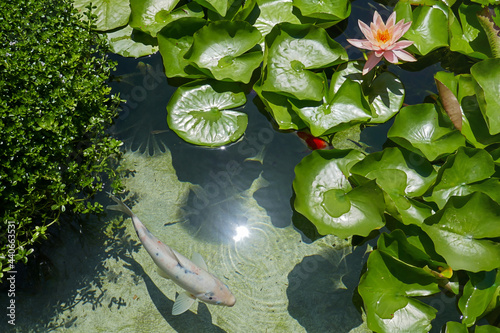 Fotografija Top view pink water lily with leaves, lotus flower and coin fish in a pond