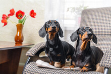 Person Had Just Got Up From Chair, Leaving Glasses And The Newspaper, When Two Funny Cheeky Dachshund Dogs Immediately Occupied It. Pets Sit And Watch Someone Waiting.