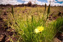 Tragopogon Dubius (yellow Salsify, Western Salsify, Western Goat's-beard, Wild Oysterplant, Yellow Goat's Beard, Goat's Beard, Goatsbeard, Common Salsify) Growing In The Volcanic Desert