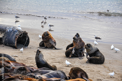 Foto Seawolves and seagulls on the beach