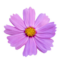 Close-up Of A Beautiful Pink Cosmos Flower Isolated On White Background.