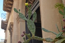 Lecce, Italy. View Of Blooming Prickly Pear On The Background Old Building.
