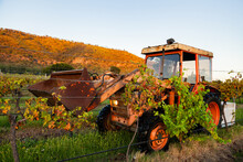 Red Tractor On Farm Carrying Bin For Grape Picking Through Vines