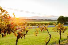 First Light Of Dawn Shining Through Grape Vine In Late Summer
