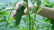Close-up Female Hands Tearing Off A Green Cucumber Growing On A Branch In A Greenhouse. Harvesting.
