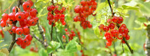 Red Currant Growing In The Bush