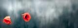 Fototapeta Kwiaty - Czerwone piękne kwiaty maków na rozmytym tle zielonej łąki.