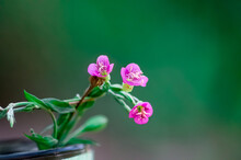 Pink Color Flower Full Bloom In Late Spring Cold Areas Of Himalayas Having Green Gross Background
