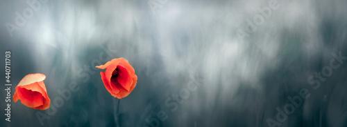 Czerwone piękne kwiaty maków na rozmytym tle zielonej łąki.
