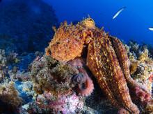 Common Octopus (octopus Vulgaris) In The Mediterranea Sea