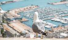 Seagull Looking Over Blurred Sea And Harbor Of Alicante Town In Spain. Urban Scene With Wild Bird