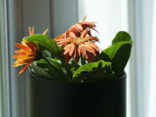 Closeup Of Potted Barberton Daisies On A Windowsill Under The Sunlight