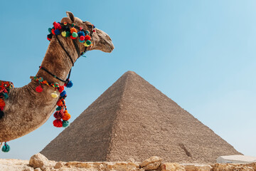 A beautiful camel stands against backdrop of the Great Pyramid of Giza