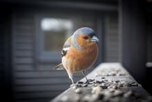 Chaffinch Visitor