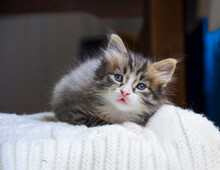 Cute, The Pet Is Looking Up. The Little Kitten Rests On A White, Knitted Plaid. A Lone Cat Is Lying On The Bed. The Animal Feels Love And Security At Home.