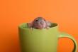 Leinwandbild Motiv Cute small rat in green ceramic cup on orange background, closeup
