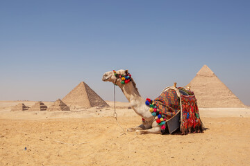 Beautiful camel on a background of pyramids