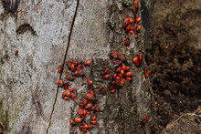 A Large Group Of Insects, The Red-winged Wingless, Gathered On The Bark Of A Tree