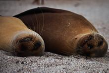 León Marino, Sea Lion. Galápagos Ecuador