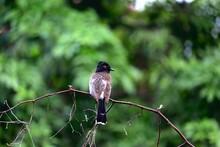 Red Bulbul Shrike On Branch After Monsoon