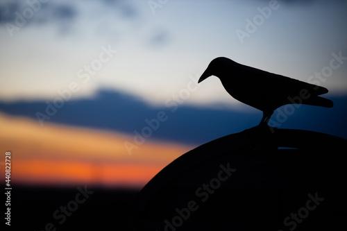 Kruk przy zachodzie słońca