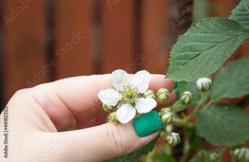 Obraz na plátně white raspberry flowers in the garden