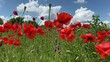 wild red poppies on the field