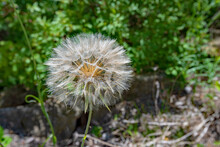 Closeup Of Dandelion Puff With Green Blurred Background