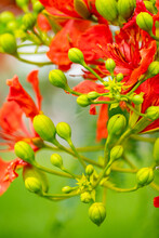 Royal Poinciana Tree Closeup Of Buds