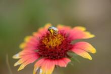 Fire Wheel, Indian Blanket, Sundance, Blanket Flower, Gaillardia Pulchella Foug. Bee Pollination 3