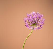 Beautiful Allium Flower Against A Sand Color Background. Allium Or Giant Onion Decorative Plant On A Floral Theme Banner.