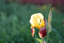 Close Up Of A Purple And Yellow Bearded Iris Flower In Bloom. Iris In The Garden In The Sun. Background Image.