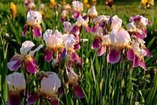 Bearded Iris Flowers On Meadow.  White-pink-bearded Iris. Iris In The Garden In The Sun. Background Picture.