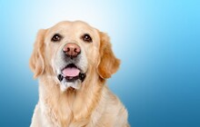 Portrait Of A Cute Dog In Front Of A Blue Background
