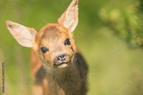 Obraz na plátně Closeup roe deer cub portrait