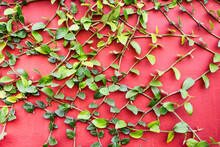Closeup Shot Of A Climbing Plant On A Red Wall