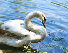 Beautiful White Mute Swan On Blue Water With Sun Glare