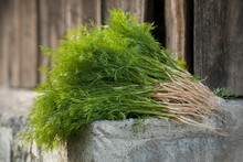 Large Bunch Of Fresh Green Dill (Anethum Graveolens). Annual Herb (family Apiaceae). Growing Herbs. Ecological Agriculture For Producing Healthy Food Concept. Harvesting Fragrant Greens For The Winter