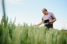 Senior Farmer Standing In Wheat Field Holding Tablet And Examining Crop During The Day.