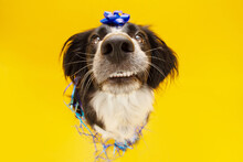 Dog Celebrating Birthday With A Bow And Paper Descoration. Isolated On Yellow Background