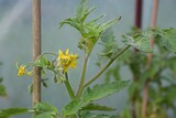 żółty kwiat pomidora