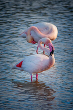 Close Up Of Two Greater Flamingos (Phoenicopterus Roseus) In The Camargue, Bouches Du Rhone, South Of France