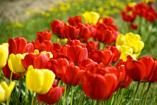 Field With Red And Yellow Tulips