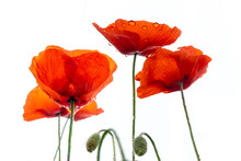 Close Up Of Dew On Red Poppies Isolated On White Background
