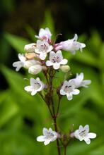 Foxglove Beardtongue (Penstemon Digitalis) Flower Close Up