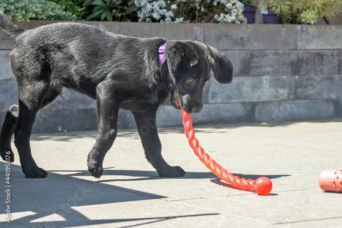 Fotografie, Obraz Labrador pup met rood speelgoed