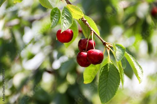 Canvastavla Ripe cherries hanging on a cherry tree branch