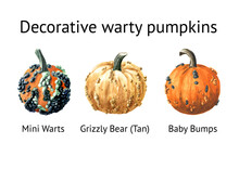 Decorative Warty Pumpkins Set. Mini Warts,  Grizzly Bear,  Baby Bumps. Watercolor Hand Drawn Illustration Isolated  On White Background