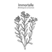 Immortelle Helichrysum Arenarium, Or Dwarf Everlast , Medicinal Plant