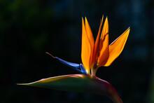Strelitzie Strelitziaceae Paradiesvogelblume Strelitzia Reginae Blume Blüte Exotisch Orange Blau Schnabel Afrika Transluzent Gegenlicht Sonne  Südafrika Pflanze Hochblatt Farbe Intensiv Dekoration